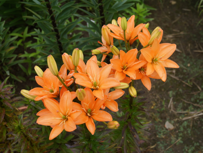 lelijos-Orange-Crote (2)