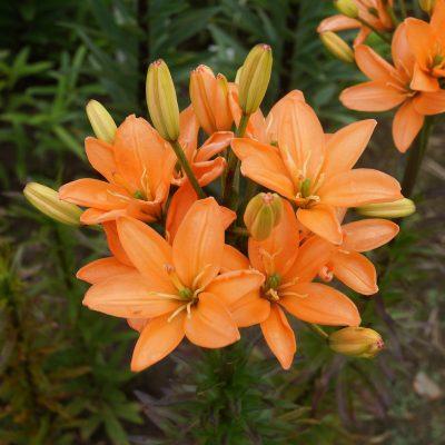 lelijos-Orange-Crote