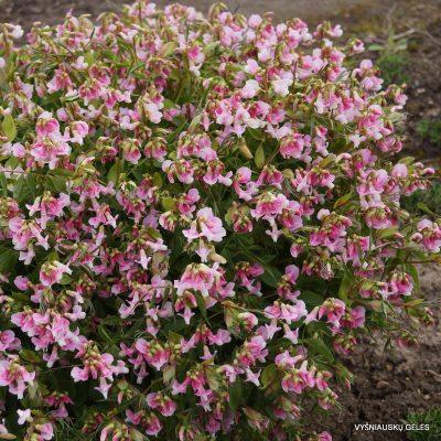 pavasarinis pelėžirnis 'Albo-roseus'