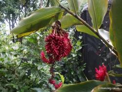 Guayaquil. Botanical garden. Alpinia sp.