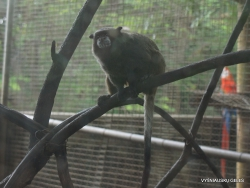 Guayaquil. Botanical garden. Brown-mantled tamarin (Saguinus fuscicollis) (4)