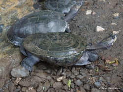 Guayaquil. Botanical garden. Colombian wood turtle (Rhinoclemmys melanosterna) (2)