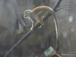 Guayaquil. Botanical garden. Ecuadorian squirrel monkey (Saimiri sciureus macrodon) (3)
