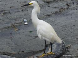 Guayaquil. Caraguay market. Great egret (Ardea alba) (4)