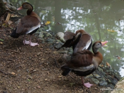 Guayaquil. Historical park. Black-bellied whistling duck (Dendrocygna autumnalis) (2)