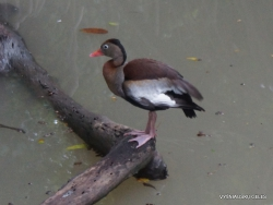 Guayaquil. Historical park. Black-bellied whistling duck (Dendrocygna autumnalis)