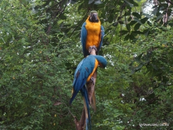 Guayaquil. Historical park. Blue-and-yellow macaw (Ara ararauna)