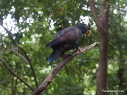 Guayaquil. Historical park. Bronze-winged parrot (Pionus chalcopterus) (2)