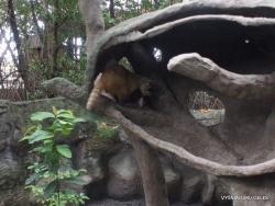 Guayaquil. Historical park. Crab-eating raccoon (Procyon cancrivorus) (2)