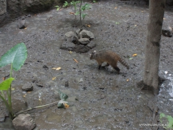 Guayaquil. Historical park. Crab-eating raccoon (Procyon cancrivorus) (4)
