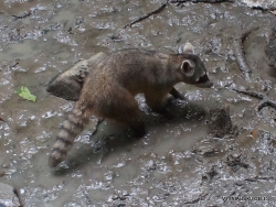 Guayaquil. Historical park. Crab-eating raccoon (Procyon cancrivorus)
