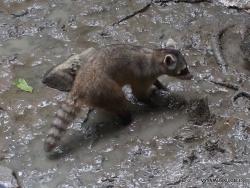 Guayaquil. Historical park. Crab-eating raccoon (Procyon cancrivorus)