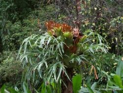 Guayaquil. Historical park. Elkhorn fern (Platycerium bifurcatum) (2)