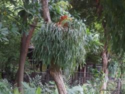 Guayaquil. Historical park. Elkhorn fern (Platycerium bifurcatum) (3)