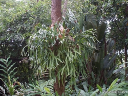 Guayaquil. Historical park. Elkhorn fern (Platycerium bifurcatum)