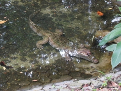 Guayaquil. Historical park. Spectacled caiman (Caiman crocodilus)