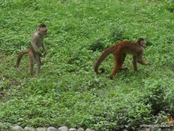 Guayaquil. Historical park. White-fronted capuchin (Cebus albifrons) (2)