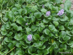 Guayaquil. Jardines del Malecon. Common water hyacinth (Eichhornia crassipes)