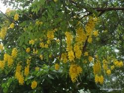 Guayaquil. Jardines del Malecon. Golden rain tree (Cassia fistula)