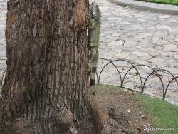 Guayaquil. Seminario park. Green iguana (Iguana iguana) (13)