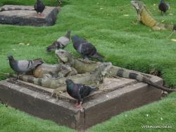 Guayaquil. Seminario park. Green iguana (Iguana iguana) (16)