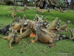 Guayaquil. Seminario park. Green iguana (Iguana iguana) (2)