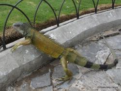 Guayaquil. Seminario park. Green iguana (Iguana iguana) (3)