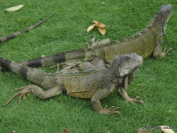 Guayaquil. Seminario park. Green iguana (Iguana iguana) (6)