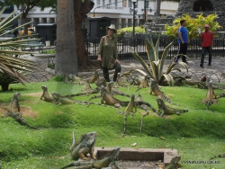 Guayaquil. Seminario park. Green iguana (Iguana iguana) (8)