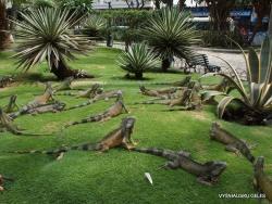 Guayaquil. Seminario park. Green iguana (Iguana iguana) (9)