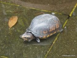 Guayaquil. Seminario park. White-lipped mud turtle (Kinosternon leucostomum)