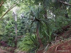 Pandanus veitchii (2)