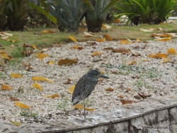 Striated heron (Butorides striata) (2)