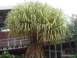 Variegated Screw Pine (Pandanus)