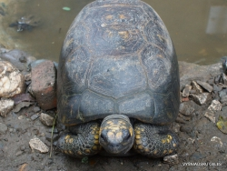 White-lipped mud turtle (Kinosternon leucostomum)
