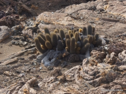 Bartolome Is. Lava cactus (Brachycereus nesioticus) (3)