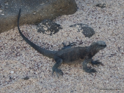 North Seymour Isl. Galápagos marine iguana (Amblyrhynchus cristatus hassi) (2)