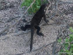 North Seymour Isl. Galápagos marine iguana (Amblyrhynchus cristatus hassi)