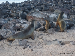 North Seymour Isl. Galápagos sea lion (Zalophus wollebaeki) (10)