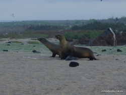 North Seymour Isl. Galápagos sea lion (Zalophus wollebaeki) (2)