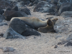North Seymour Isl. Galápagos sea lion (Zalophus wollebaeki) (5)