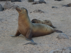 North Seymour Isl. Galápagos sea lion (Zalophus wollebaeki) (6)