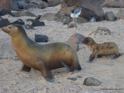 North Seymour Isl. Galápagos sea lion (Zalophus wollebaeki) (7)