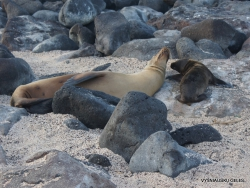 North Seymour Isl. Galápagos sea lion (Zalophus wollebaeki) (8)
