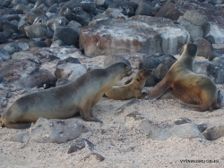 North Seymour Isl. Galápagos sea lion (Zalophus wollebaeki) (9)
