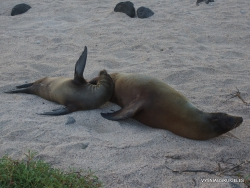 North Seymour Isl. Galápagos sea lion (Zalophus wollebaeki)