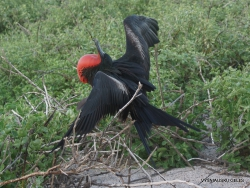 North Seymour Isl. Magnificent frigatebird (Fregata magnificens) (22)