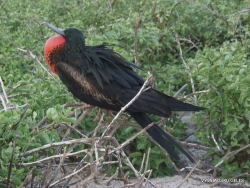 North Seymour Isl. Magnificent frigatebird (Fregata magnificens) (23)