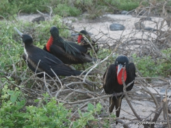 North Seymour Isl. Magnificent frigatebird (Fregata magnificens) (27)