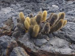Santiago Isl. Sullivan Bay. Lava cactus (Brachycereus nesioticus)